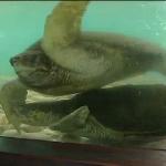 Em SP, Projeto Tamar devolve tartarugas ao seu habitat