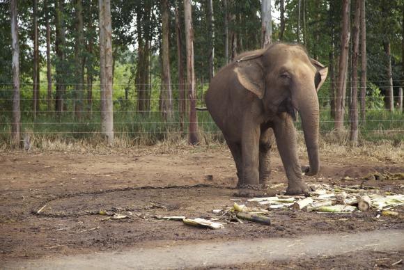A primeira etapa do santuário terá um centro de cuidados veterinários e piquetes para abrigar os elefantes, que serão separados por espécie (asiáticos e africanos) e sexo (machos e fêmeas) / Foto: Divulgação Santuário de Elefantes Brasil