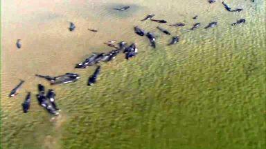 Imagens aéreas mostram 270 baleias encalhadas na Austrália