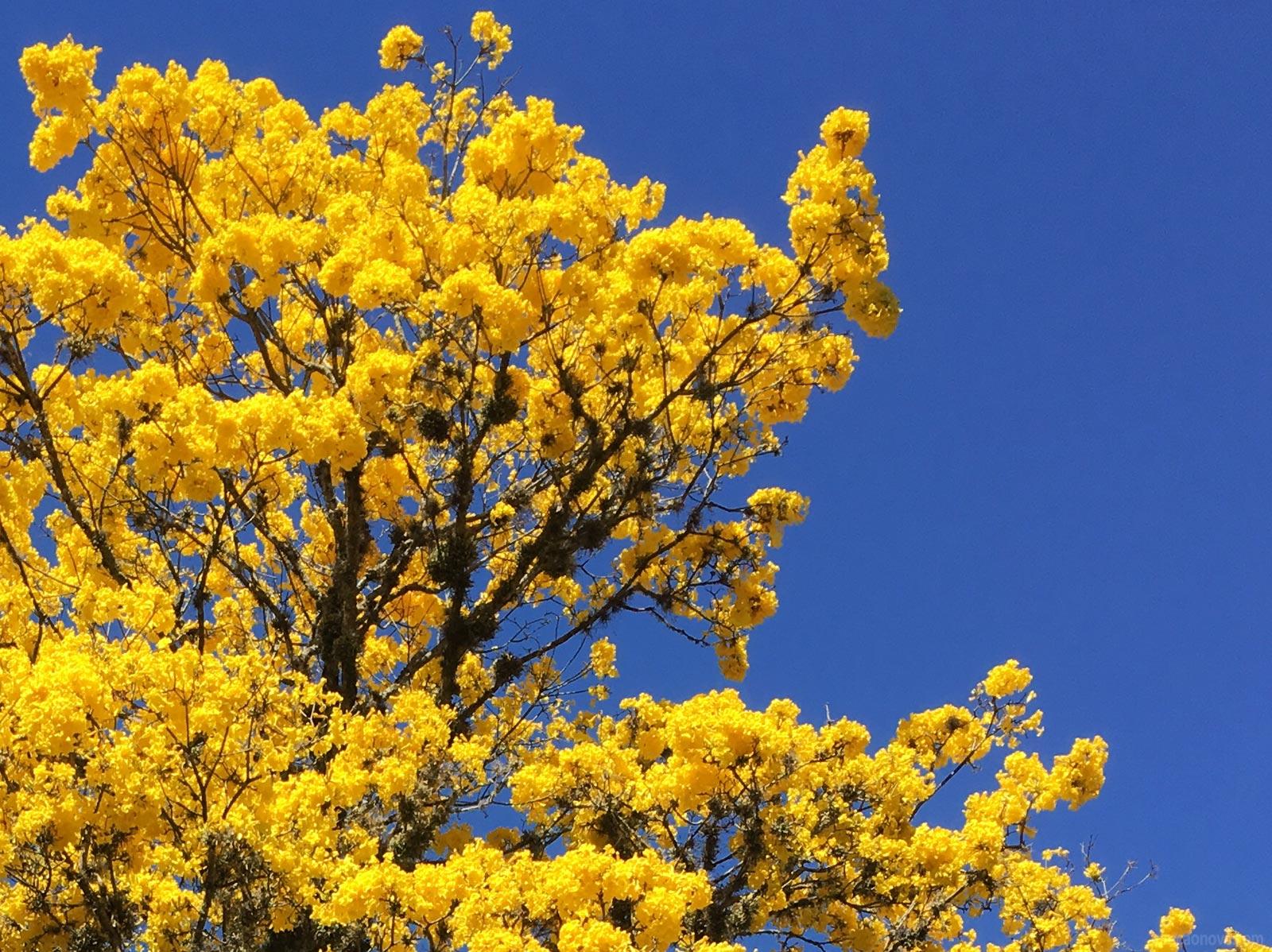 --Os-ipês-amarelos-e-a-sensação-que-eles-me-trazem
